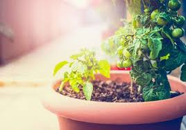 growing vegetables in pots starting a container vegetable garden
