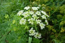 native minnesota plants poison hemlock has made its way to minnesota local news