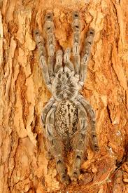 indian ornamental tarantula stock images image 4293074