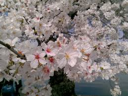 Cherry Blossom Tree Facts by 7 Ways To Kiss Winter Goodbye At The National Cherry Blossom