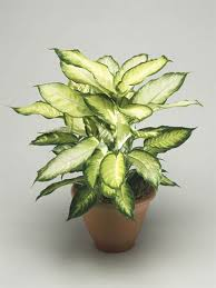 Fragrant Indoor Plants Low Light - pretty indoor flowering plants today com