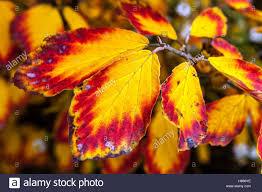 witch hazel hamamelis intermedia autumn color leaves stock photo