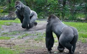 Gorilla by Zoo Miami Introduces Two New Gorillas Miami Herald