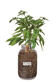 amazon com back to the roots self watering planter shishito