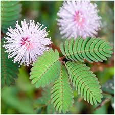 amazon plants amazon com package of 100 seeds sensitive plant compact growth