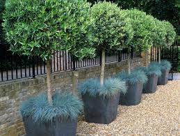 these rows of trimmed olive trees grow in square containers