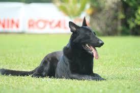 belgian shepherd nz heisenberg kennels photo albums