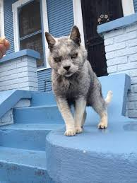 Mad Wolf Meme - this cat mixed with wolf and crip blood cats know your meme