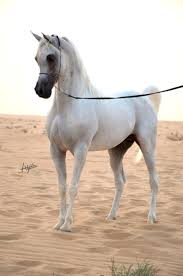 Nice Hourse 3383 Best The Arabian Horse Images On Pinterest Arabian Horses