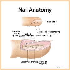 Human Anatomy Integumentary System Integumentary System Anatomy And Physiology U2022 Nurseslabs