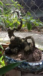 864 best bonsai images on pinterest bonsai trees minis and