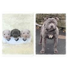 american pitbull terrier puppies for sale uk pure staff dogs and puppies rehome buy and sell in the uk and