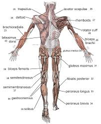 Joints Human Anatomy Lost Temple Fitness Anatomy