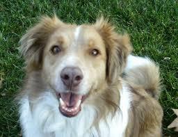 australian shepherd or golden retriever golden retriever australian shepherd mix facts u2013 dogs in our life