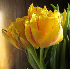 wallpaper bunga warna orange yellow tulips with red stripes by mooniq66 on deviantart