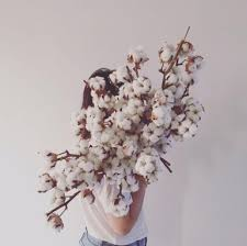 cotton flowers dried cotton flowers price per stalk gardening on carousell