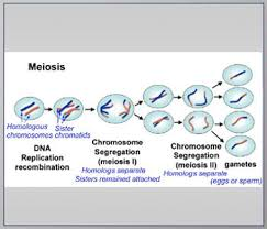 genetics basics lesson 5 meiosis