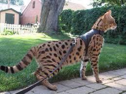 the 25 best largest domestic cat ideas on pinterest domestic
