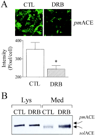 ck2 phosphorylates the angiotensin converting enzyme and regulates