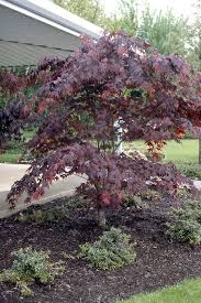 bloodgood japanese maple shrubs specialty tree type