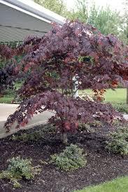 bloodgood japanese maple ornamental trees tree type