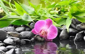 Black Orchid Flower Wallpaper Reflection Bamboo Black Orchid Flower Water Orchid