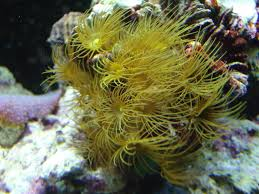 coral for sale colonies mini colonies and frags