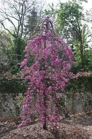 flowering trees at crain tree farm