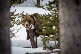 Bears Montana Hunting And Fishing - montana won t recommend yellowstone grizzly hunting this year