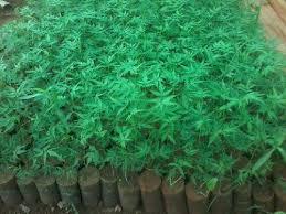 Green Plants Arun Nursery Company Wholesale Trader Of Hebbevu Green Plants