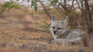 bengal fox wikipedia