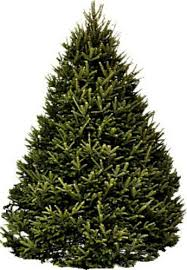 balsam christmas tree balsam fir trees hilltop christmas tree delivery