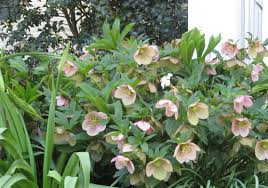 native plants for shade image result for hellebores in ct ct non native shade perennials