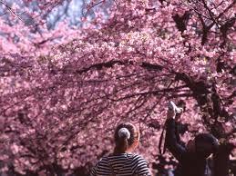 2018 cherry blossom forecast kyuhoshi