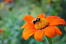 beautiful flower images bee on a beautiful orange flower free stock photo public domain