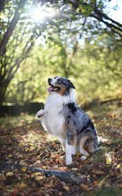 australian shepherd jumping fence photo friday i want to be the very best dogs