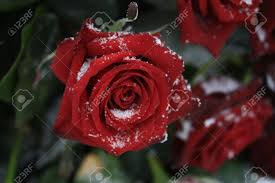 a solitaire red rose in the snow stock photo picture and royalty
