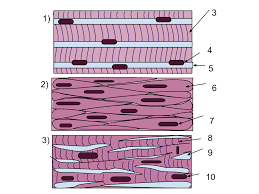 muscle tissue wikipedia