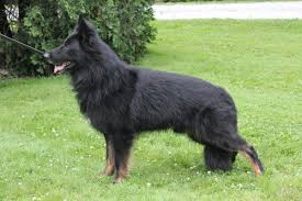 belgian sheepdog price extra extra nice longcoat german shepherd puppies in hoobly