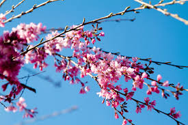 bucket list item photograph the cherry blossom trees in dc