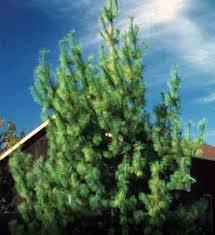 white pine tree eastern white pine tree seedlings quantity 45 fresh free shipping