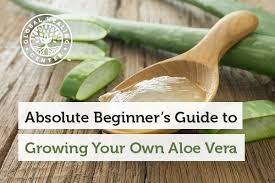 Beginners How To Grow Just by Absolute Beginner U0027s Guide To Growing Your Own Aloe Vera
