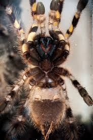 deirdre p regalis indian ornamental tarantula by