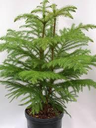 plants u0026 flowers christmas tree plant