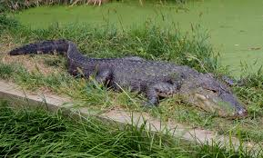 alligator claws american alligator smithsonian s national zoo