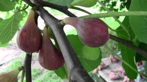 Judge A Tree By Its Fruit - when to pick your ripe figs youtube