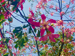 pink flower tree most beautiful tree kachnar orchid tree asia widen your horizon