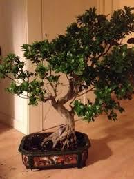 bonsai prices bonsai empire
