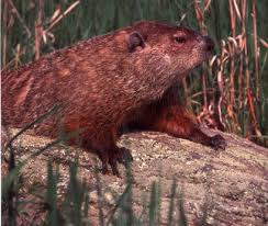 species spotlight groundhog