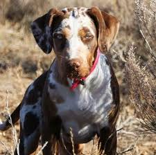 Louisiana traveling with cats images 7 best catahoulas images leopard dog louisiana and jpg